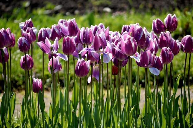 Reihe von lila tulpen im garten