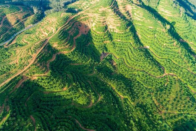 Reihe von palmen plantagengarten auf hohem berg in phang nga thailand luftbild drohne schuss.