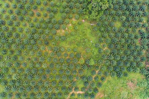Reihe von palmen plantagengarten auf hohem berg in phang nga thailand luftbild drohne