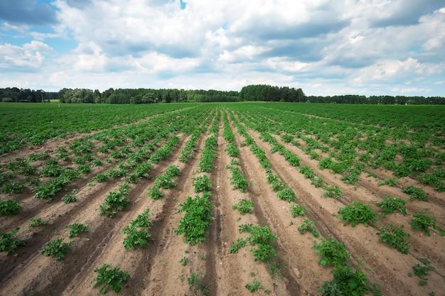 Reihen auf dem feld. agrarlandschaft im sommer