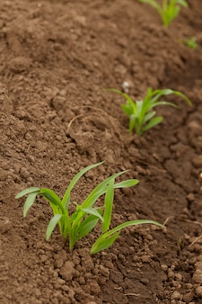 Reihen-mais von den wachsenden ernten