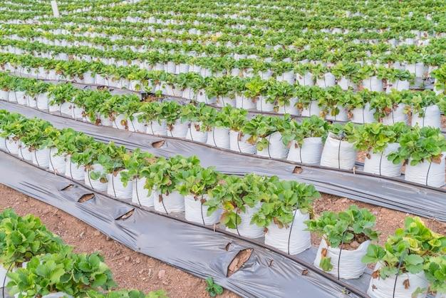 Reihen von erdbeeren.