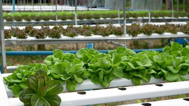 Reihen von frischen saftigen pflanzen auf ökologischer hydroponikfarm, gartenbeete. agrartechnologien.
