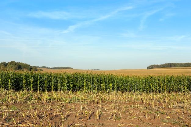 Reihen von grünem mais