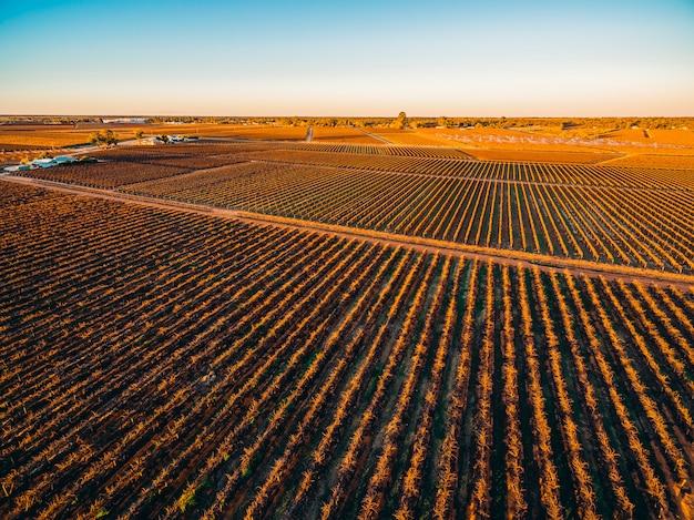 Reihen von reben in südaustralischen weinbergen im winter bei sonnenuntergang - luftaufnahme