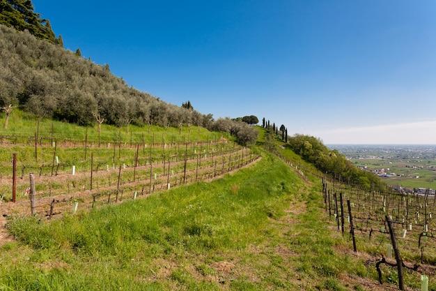 Reihen von weinreben und olivenbäumen auf einem hügel