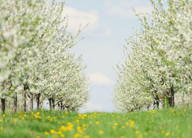 Reihen von wunderschön blühenden kirschbäumen auf einem grünen rasen
