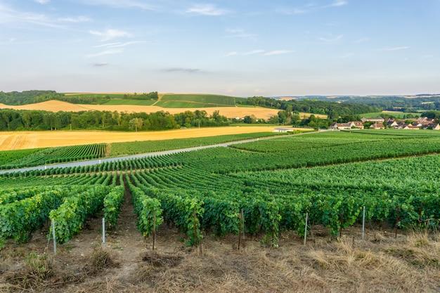 Reihenrebtraube in den champagnerweinbergen am landschaftsdorf montagne de reims