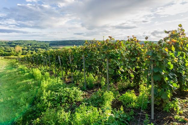 Reihenrebtraube in den champagnerweinbergen bei montagne de reims
