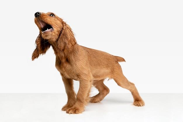Reine jugend verrückt. englischer cockerspaniel junger hund posiert.