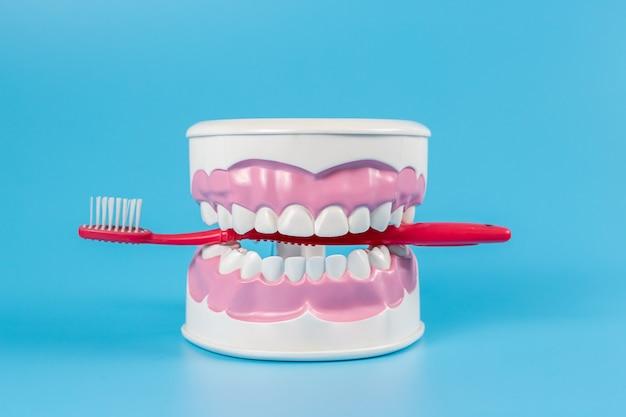 Reinigen sie die zähne des zahnkiefermodells und der roten zahnbürste auf blauem hintergrund.