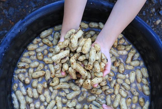 Reinigen sie frische erdnüsse nach der ernte in wasser.