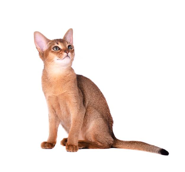 Reinrassige abessinische katze isoliert auf weiß. nettes verspieltes kätzchen isoliert