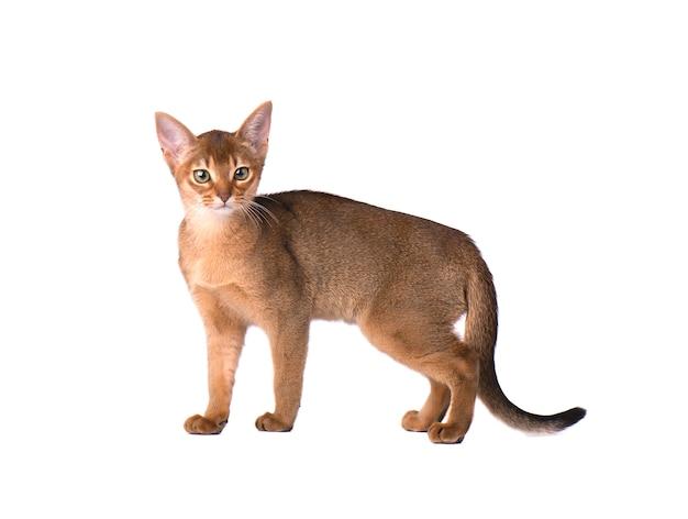 Reinrassige abessinische katze isoliert auf weißem raum. nettes verspieltes kätzchen isoliert