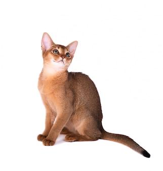Reinrassige abessinische katze lokalisiert auf weißem hintergrund