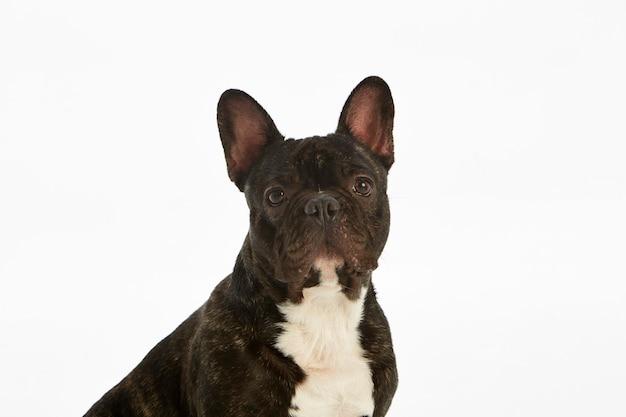 Reinrassige französische schwarzweiss-bulldogge