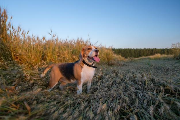 Reinrassiger beagle für einen spaziergang im sommer zwischen dem reifen goldenen weizen