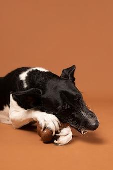 Reinrassiger hund, der in einem studio entzückend ist