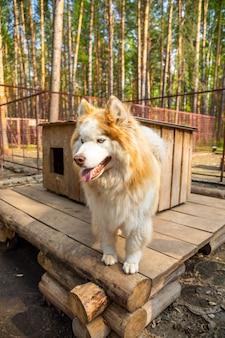 Reinrassiger husky in einem freiluftkäfig auf einer hundefarm haskiland in der nähe von kemerovo, russland
