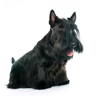 Reinrassiger scottish terrier