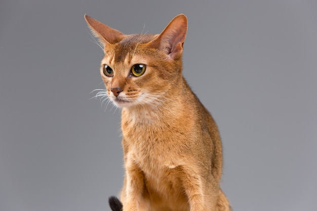 Reinrassiges abessinisches jungkatzenporträt