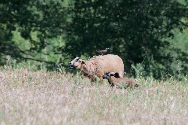 Reinrassiges kamerun-mutterschaf und ihr lamm