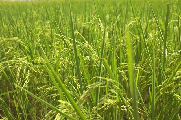 Reis auf dem feld, der auf ernte wartet