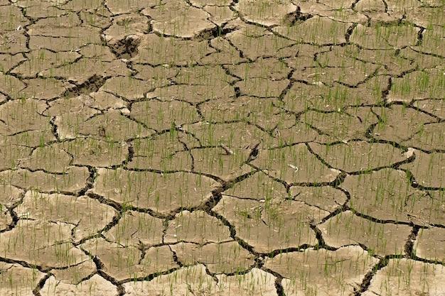 Reis auf dem feld ohne wasser
