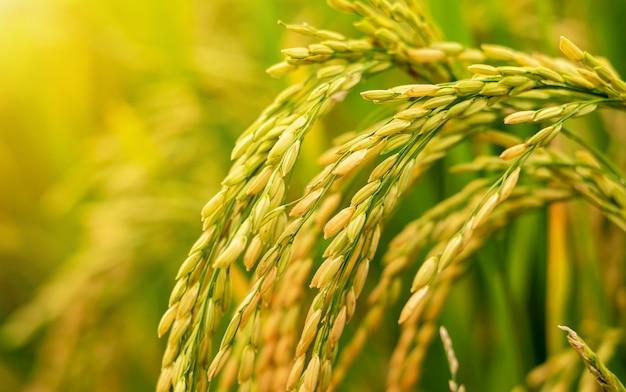 Reis auf dem feld wartet auf die ernte.