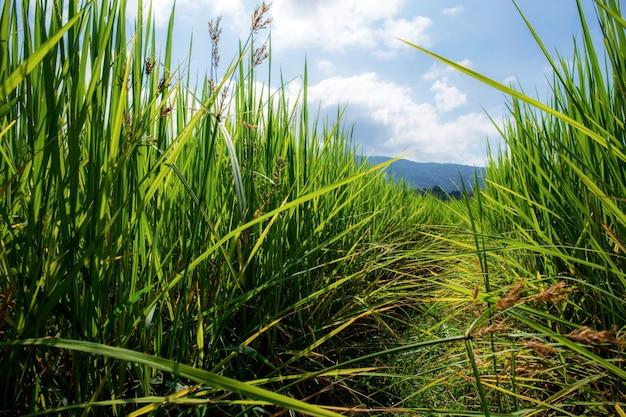 Reis auf feld mit sonnenlicht.