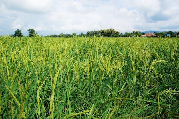 Reis auf feldern auf dem land.