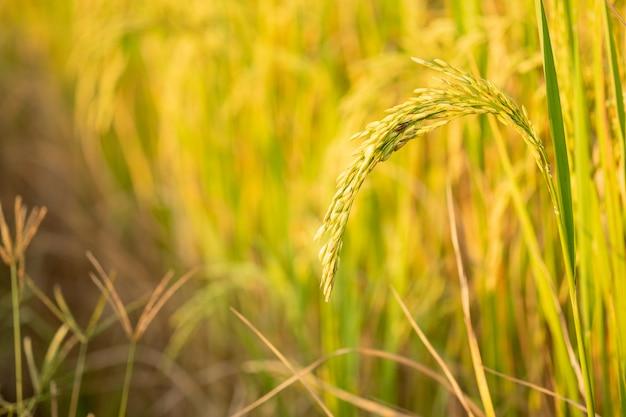 Reis im feldumwandlungstest bei nord-thailand, in der gelben farbe des reises und im kopienraum
