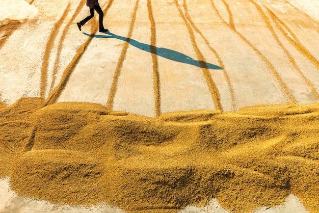 Reis trocknen, um die feuchtigkeit der bauern zu reduzieren.