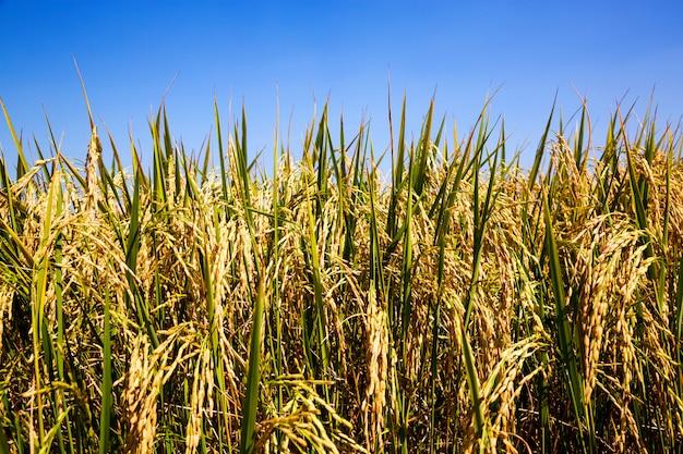 Reis und getreide bereit geerntet zu werden.
