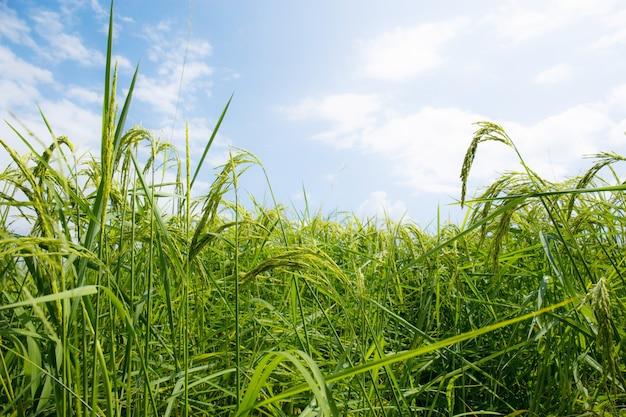Reis wächst mit blauem himmel.