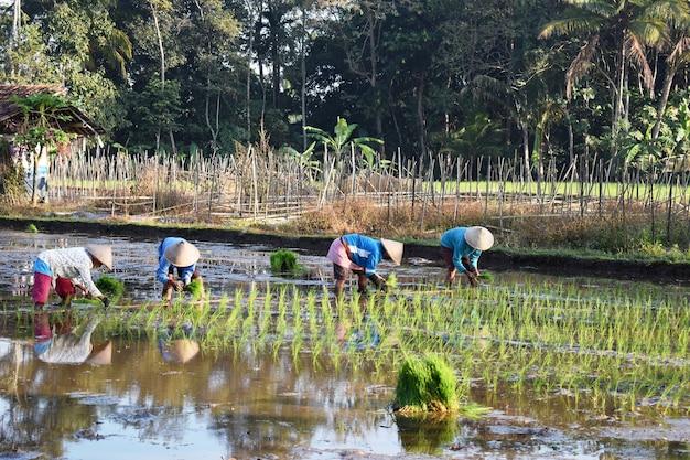 Reisbauern helfen gemeinsam, reissprossen im reisfeld zu pflanzen