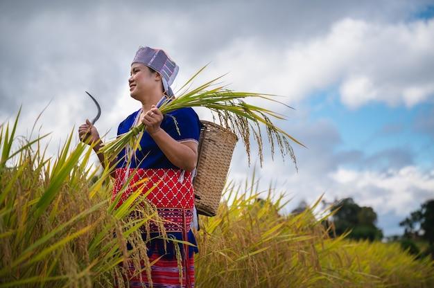 Reisernte der landwirtin im norden thailands