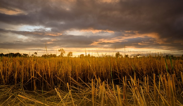 Reisfarm. stoppeln auf dem feld nach der ernte. getrocknetes reisstroh im bauernhof. landschaft der reisfarm mit goldenem sonnenuntergangshimmel und dunklen wolken. schönheit in der natur. ländliche szene der reisfarm. ackerland.