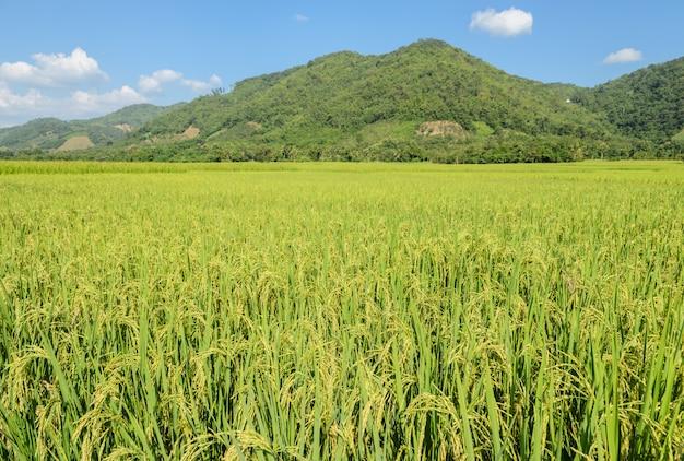 Reisfeld am sonnigen tag