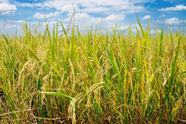 Reisfeld bei nord-thailand, naturlebensmittelhintergrund