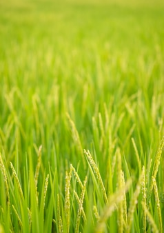 Reisfeld bei nord-thailand