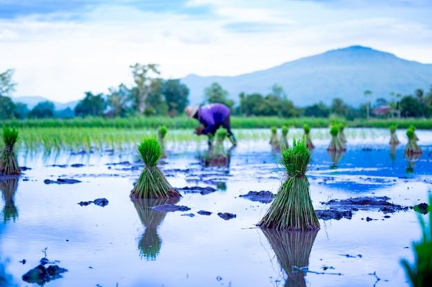 Reisfeld, das jahreszeit auf bauernhoflandschaft in thailand sät