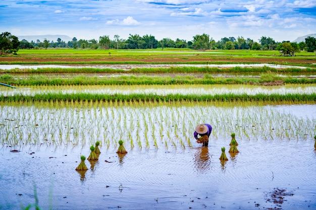 Reisfeld, das jahreszeit auf landschaft in thailand sät