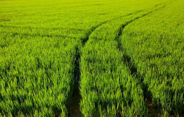 Reisfeld des grünen grases in spanien valencia