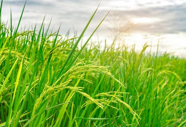 Reisfeld des grünen reises. reisplantage. bio-jasminreisfarm in asien. reisanbau landwirtschaft. schöne natur von ackerland. asiatisches essen. reisfeld warten auf ernte.