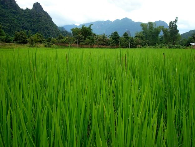 Reisfeld in der nähe eines laotianischen dorfes