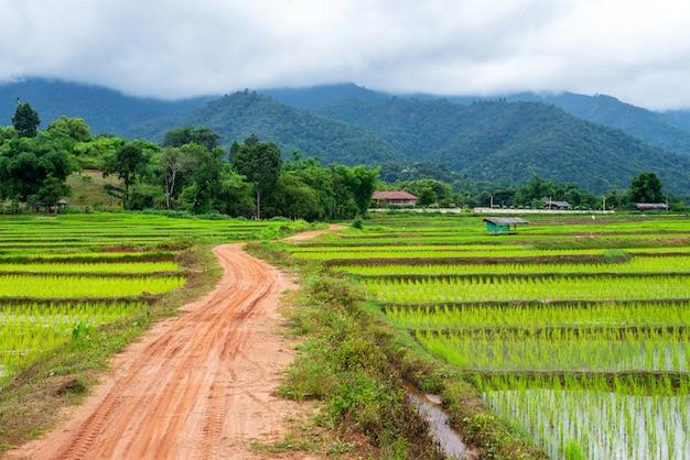 Reisfeld in der natur mit gebirgshintergrund