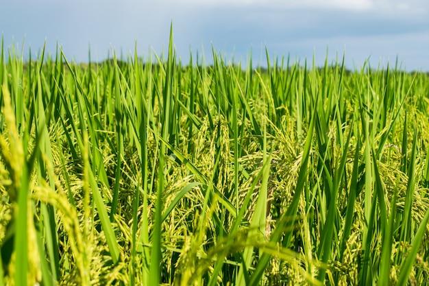 Reisfeld in thailand mit himmelhintergrund. reisohr oder reisohr.