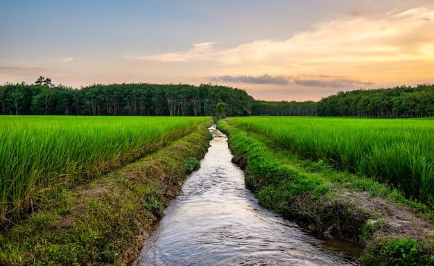 Reisfeld ländlich mit buntem des himmels in der dämmerung