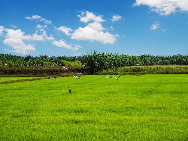 Reisfeld, landwirtschaft, reisfeld, mit weißer wolke und blauem himmel Premium Fotos